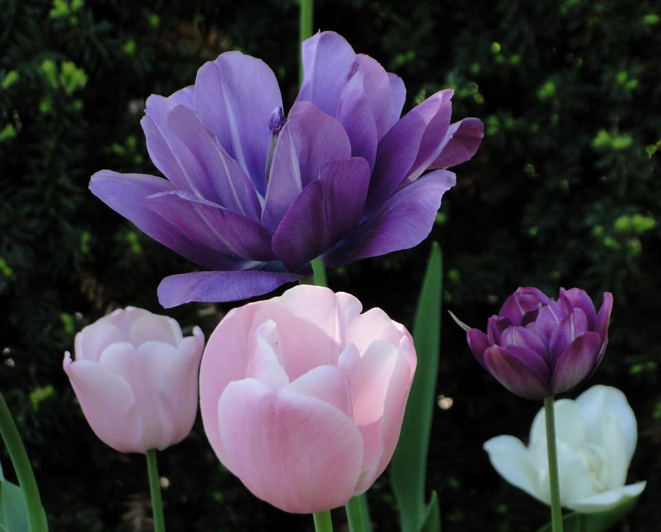 77-21apr12_3848_Botanical_garden_tulip