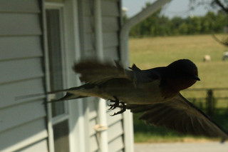 Barn Swallow flight 3