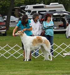 dog sports(1.0), animal sports(1.0), animal(1.0), silken windhound(1.0), dog(1.0), sports(1.0), pet(1.0), mammal(1.0), conformation show(1.0), borzoi(1.0),