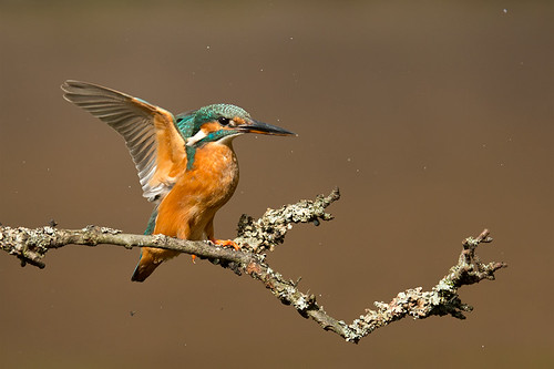 Kingfisher coming into land