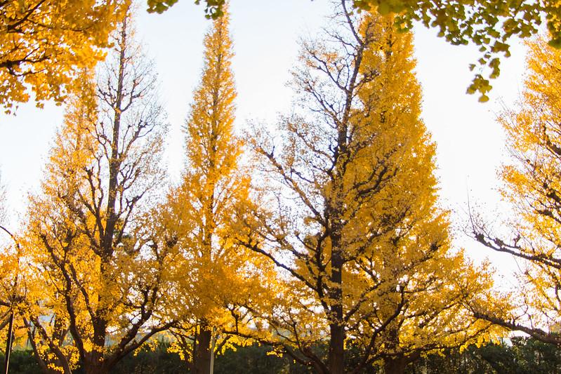 ginkgo avenue (aka icho namiki) - 11