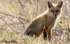 Fox 2 - Bombay Hook NWR - DE