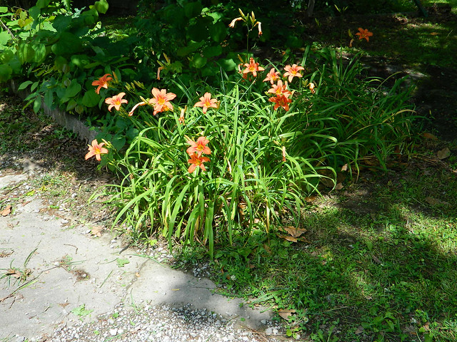 This Year's Tiger Lilies