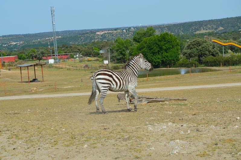 lara-vazquez-madlula-blog-cebras-safari-madrid
