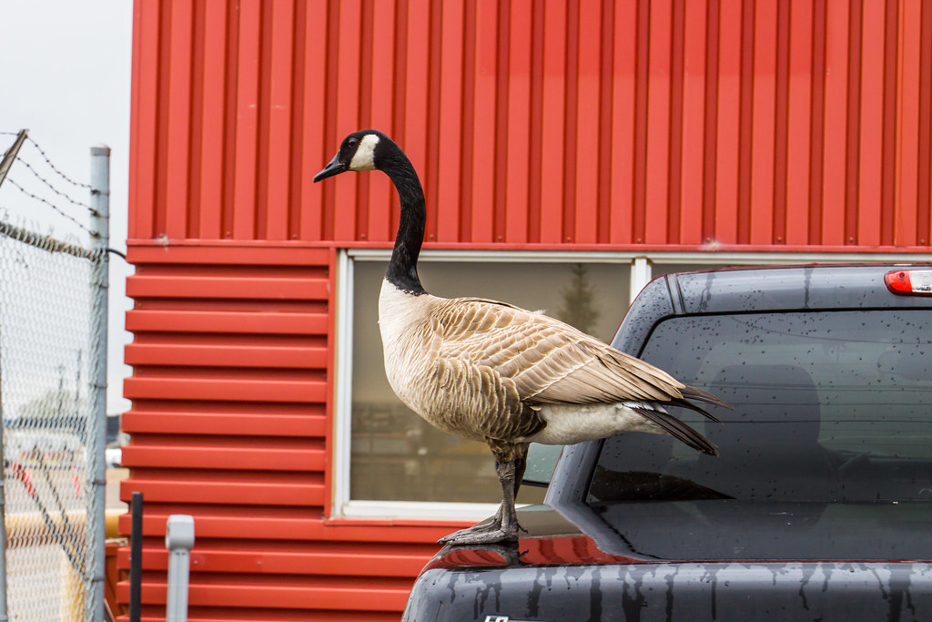 Canada Goose On My Truck #5