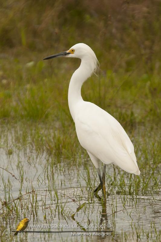 Garcita blanca ( Snowy Egret) Egretta thula