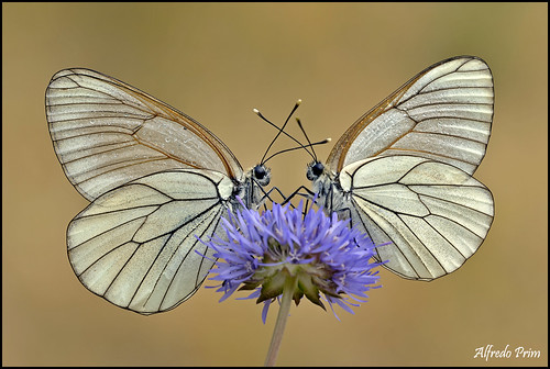 Aporia crataegi (Pieride del biancospino)