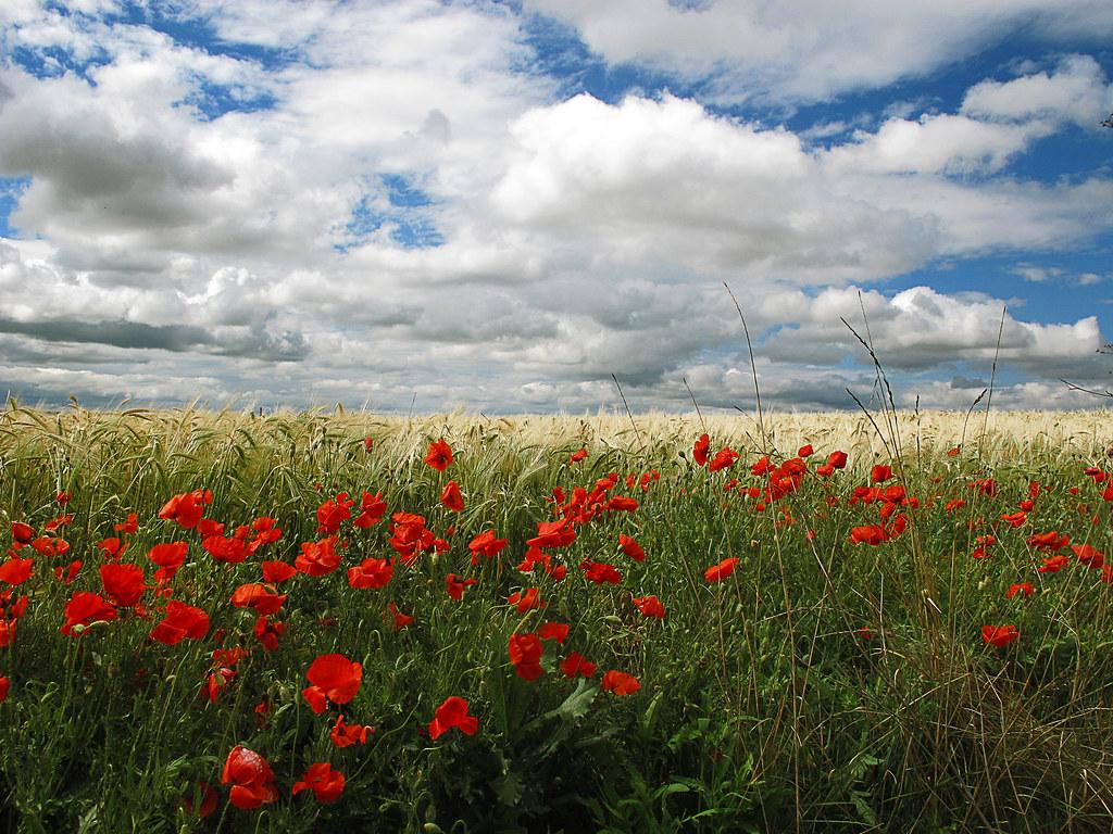 Nubes, trigo y las rosas de los campos. Fuente