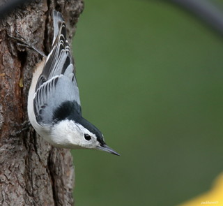 """White-breasted Nuthatch"" ""Sitta carolinensis"""