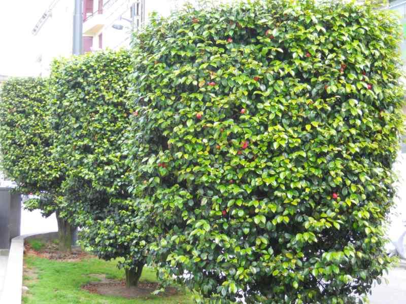 Camellia japonica 'Elegans' 4