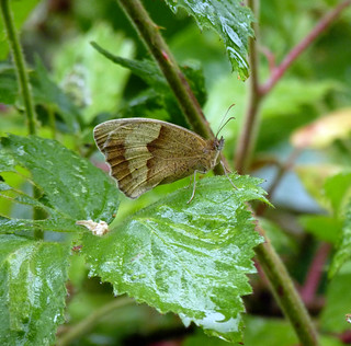 Meadow Brown ..........will the rain ever end!