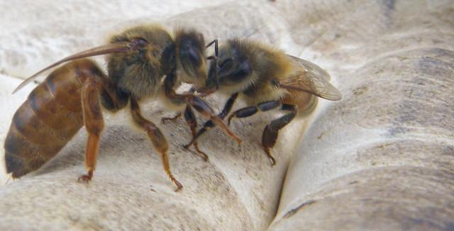 virgin queen with nurse bee