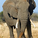 Big bull in musth
