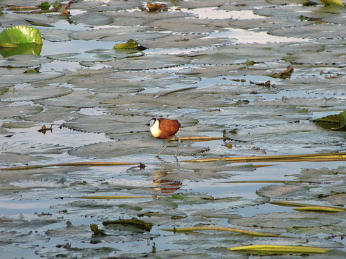 African Jacana by CharlesRay2010