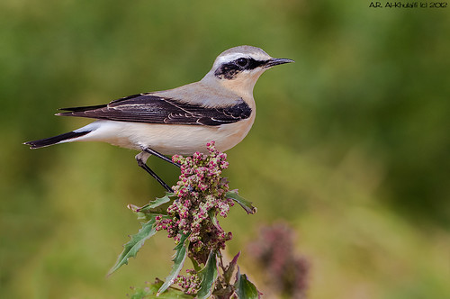 Northern Wheatear - ‏ مخضرم