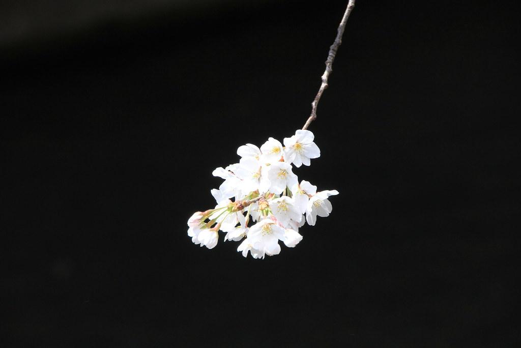sakura blacks *from kyoto