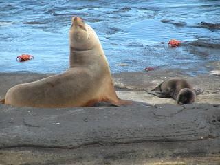 Galapagos Sea Lion (Zalophus wollebaeki) mother and pup