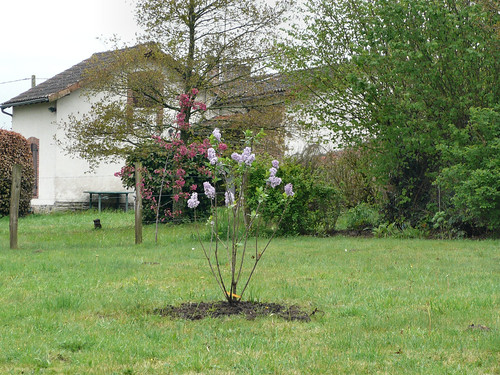 Lilac planted, close