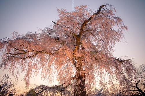 light sunset flower tree japan evening nikon kyoto cherryblossom 28300mm d800 higashiyama