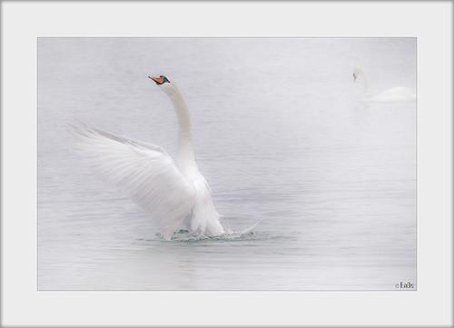 white bird nature water swan wasser natur bodensee schwan weiss vogel lakeconstance ennodernov