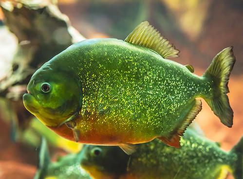 Red Belly Piranha Fish Tank Red Bellied Piranha Shedd