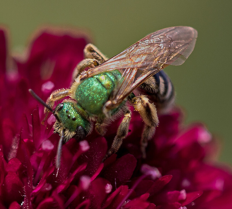 Bzzzz Crop (Halictid Bee - Agapostemon virescens)