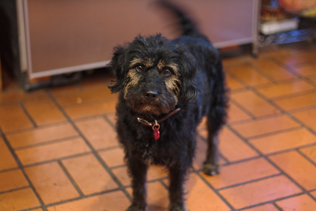 Dallas Dog Adoption Pet