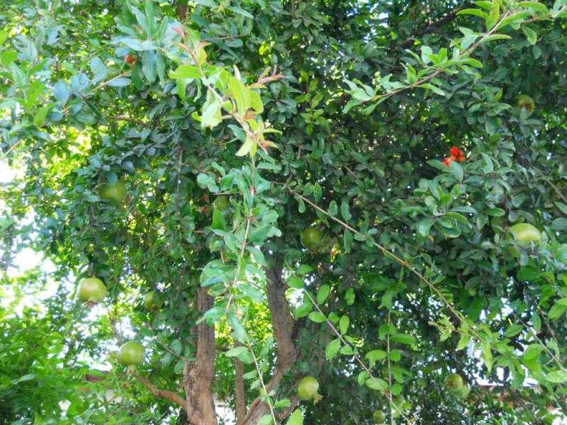 jardineros en acci n granado un rbol ideal para