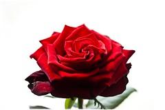 - rose 4 u -