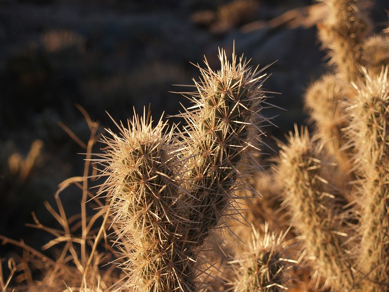"Cholla Cactus. aka. ""Jumping Cactus"" Those super-sharp spines really hurt!"