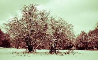 Snowy Common