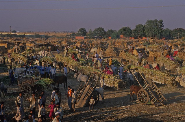 Solapur India  city pictures gallery : India, Solapur, Delivering Sugar Cane 5 | Flickr Photo Sharing!