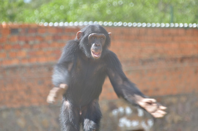 Happy Chimp | Flickr - Photo Sharing!