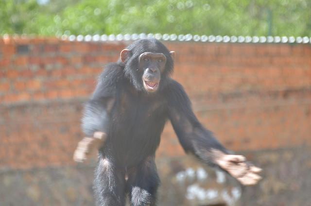 Happy Chimp | Flickr - Photo Sharing!: www.flickr.com/photos/afrikaforce/5280428262