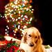 Santa Paws by Brady the Golden Retriever