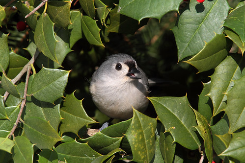Titmouse in Holly