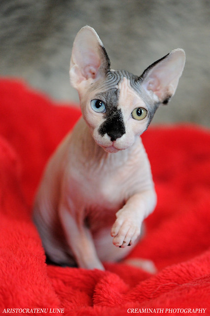 Best Of Sphynx Cats A Gallery On Flickr