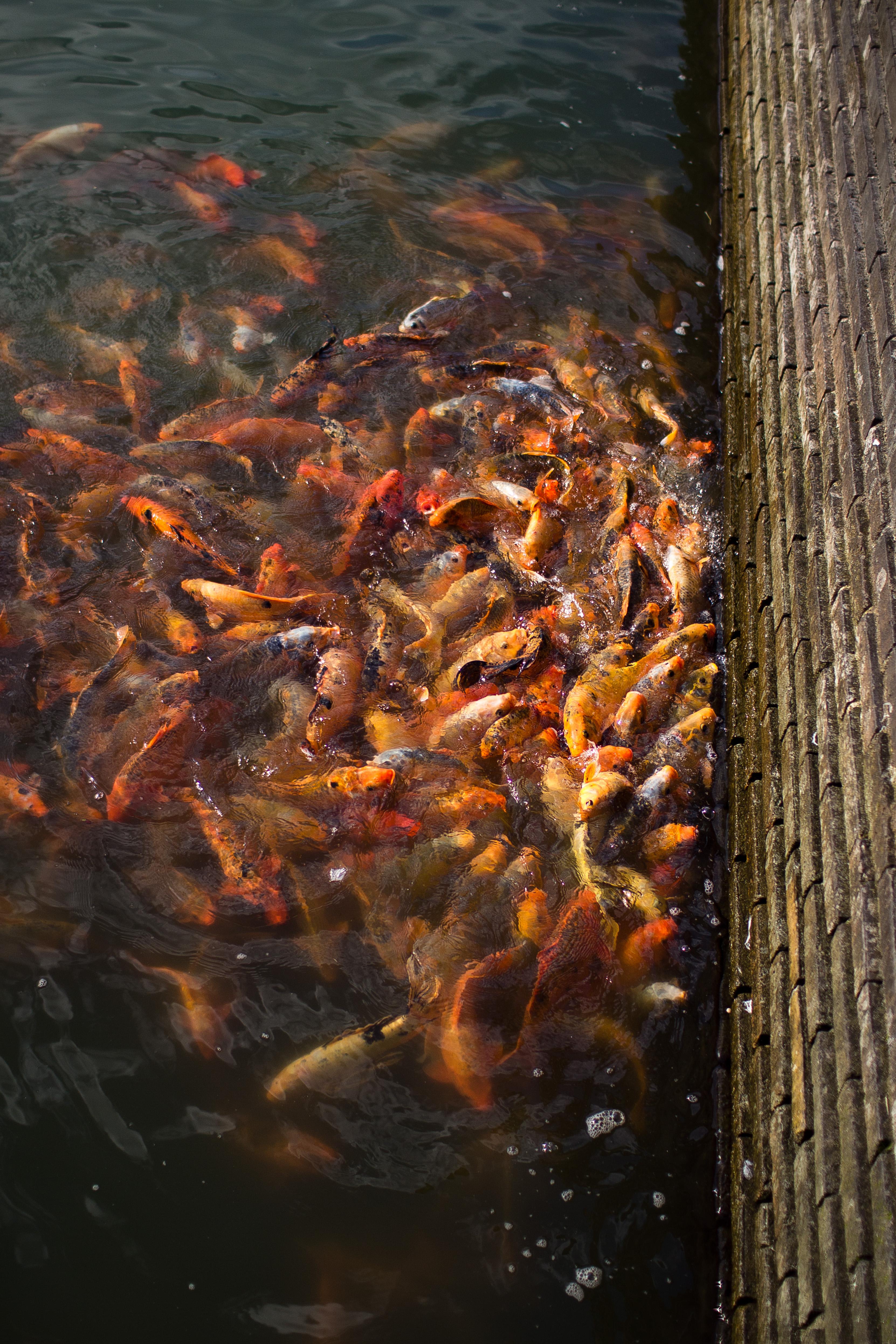 Imperial Goldfish