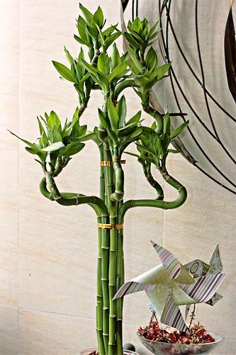 Dracaena sanderiana (Lucky Bamboo)