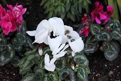 shrub(0.0), flower(1.0), leaf(1.0), plant(1.0), flora(1.0), cyclamen(1.0), herbaceous plant(1.0), petal(1.0),