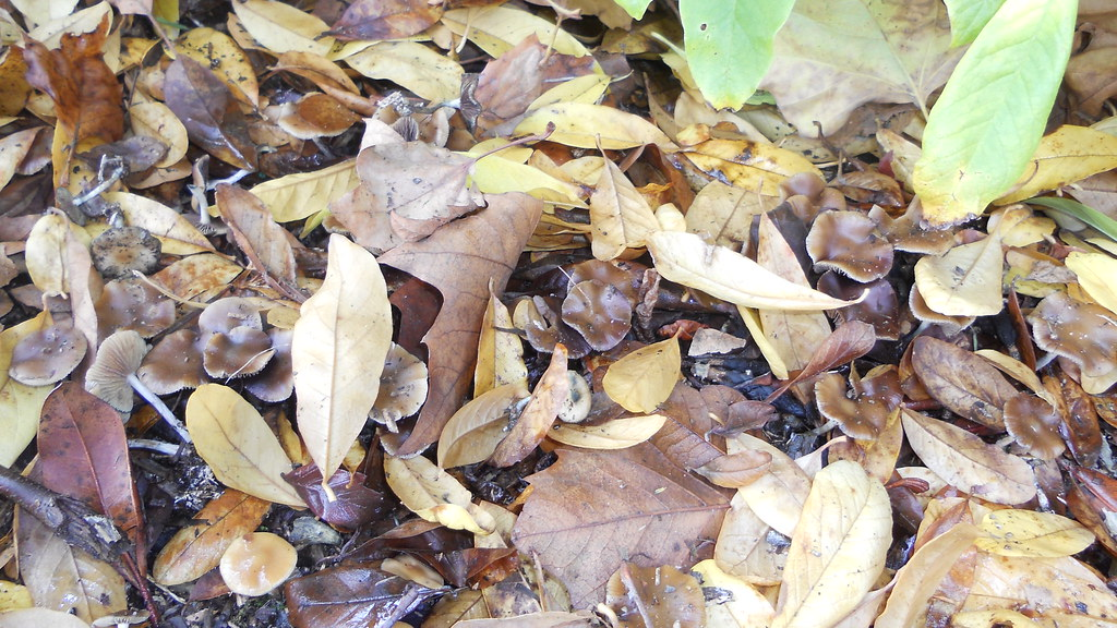 Cubensis Vs Cyanescens