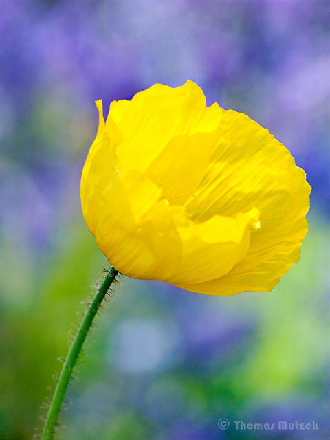 Yellow Poppy, 2010