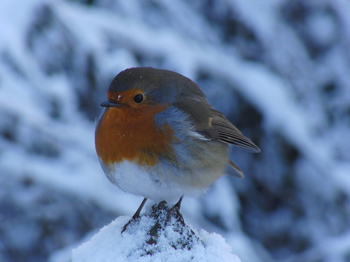 Robin on a snow-tipped post