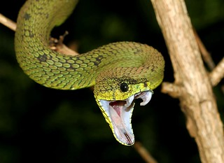 Great Lakes Viper (Atheris nitschei)