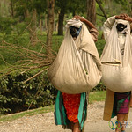 Carrying a Heavy Load of Tea Leaves - West Bengal, India