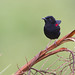 Red-backed Fairywren - CG3J0972_1web