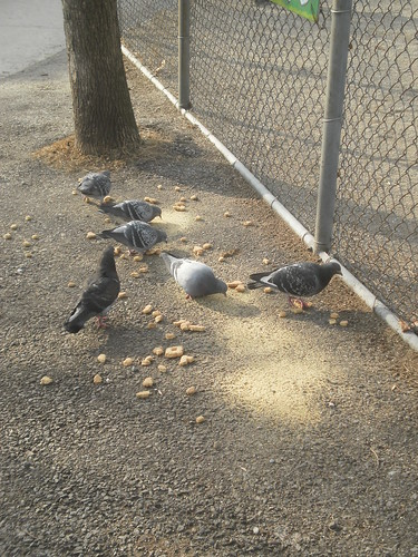 Pigeons by the school fence