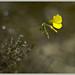 Agrillo y tomillo (oxalis pes-caprae + thymus vulgaris)