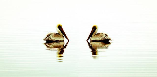 Pelícanos en el Lago Guana. Florida. Estados Unidos.