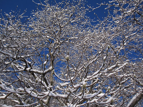 Magnolia branches with snow